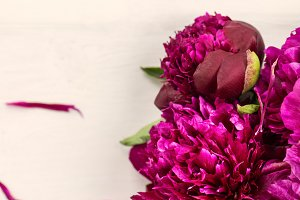 Fresh bunch of dark purple peonies on light background