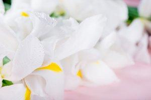 Beautiful White Iris Flowers on Pink Background
