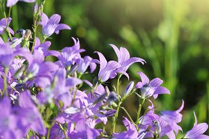 Group of Campanula patula spreading