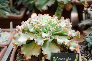 Crassula curly leaves. Succulent.