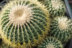 Green cacti with yellow spines.