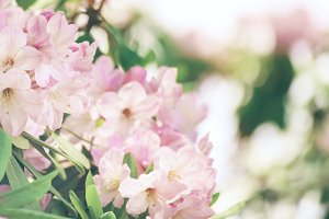 Rhododendron maximum pink flowers
