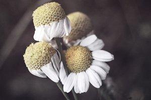 Matte wild flower white camomile