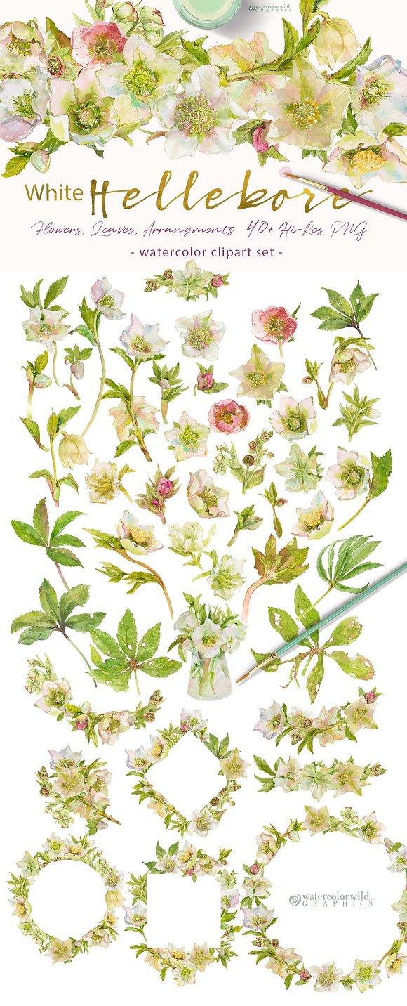 White Hellebore-Floral Clipart