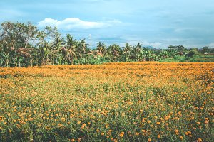 Marigold field in Ubud, Bali island, Indonesia.