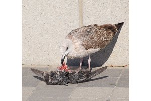 seagull is eating a dead dove. Seagull is a predator.