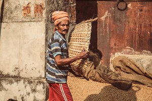 indian man scatters wheat