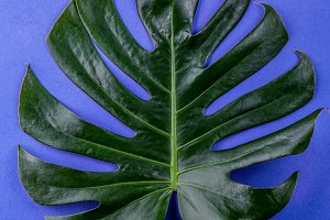 Tropical leave Monstera on blue background. Flat lay, top view