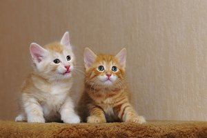 Two cute redhead kitten