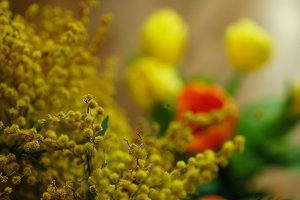 Yellow mimosa close-up