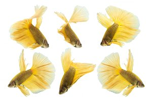 yellow betta fish isolated on white