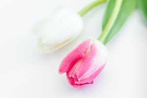 Tulip, Easter, Spring / Stock Photo
