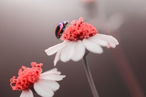 ladybugs, flower, insect,
