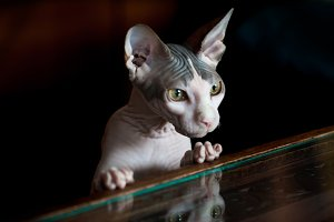 Sphynx cat reflected on glass table