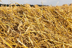 golden dry straw
