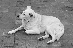 Dog in the Street Black and White