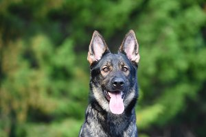 Sable German Shepherd