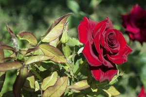 Picture bright red roses