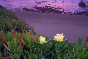Thee Iceplants in the Pacific Coast
