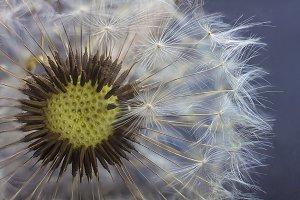 Dandelion flower seed closeup