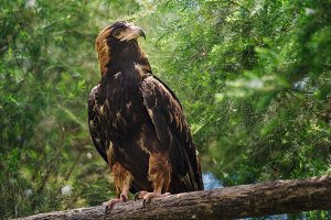 Golden eagle looking around