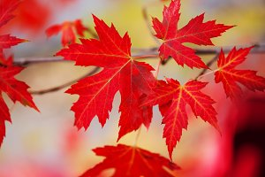 Branch with red maple leaves.