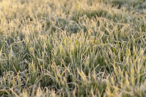 wheat during frost