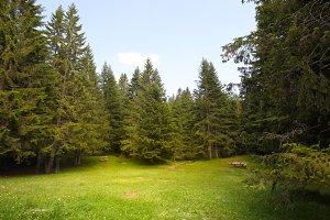 Grass glade in spruce forest.