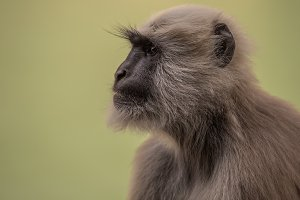 Indian gray langur portrait