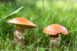 Edible mushrooms suillus in grass