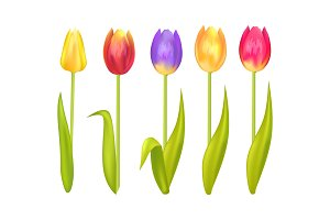 Colorful Tulips Set Isolated on White Background