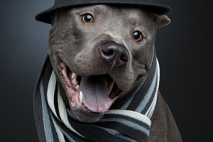 beautiful thai ridgeback dog in hat and scarf