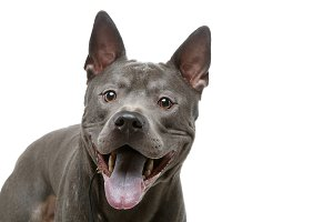 beautiful blue thai ridgeback dog