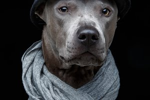 beautiful thai ridgeback dog in cap and scarf