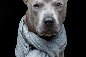 beautiful thai ridgeback dog in grey scarf