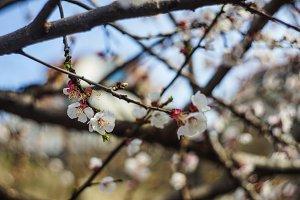 Cherry blossom as a spring concept