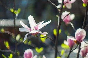 Magnolia blossom as a spring concept