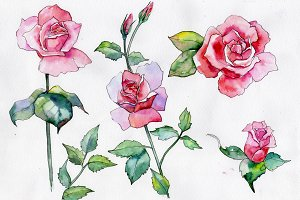 Wildflower pink rose PNG watercolor