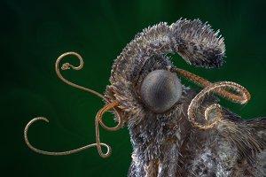 Mustache moth portrait