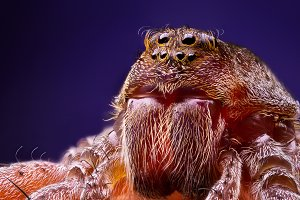 Female wolf spider portrait