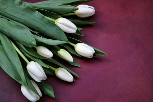 White tulips on red background