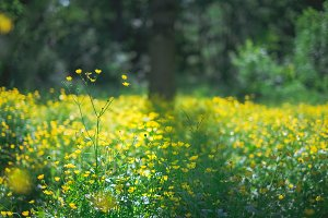 landscape photography of fresh spring garden nature with petal yellow flowers in field, natural floral background. Summer green lush grass meadow with soft blooming flowers. Nature and ecology concept