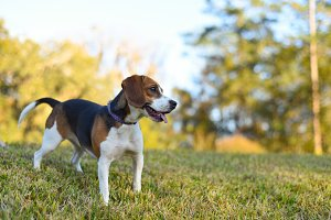 Small young Beagle