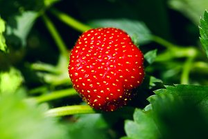 Organic ripe strawberry