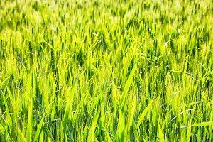 Sunny green rey field