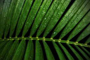 Yellow palm leaves with water drop