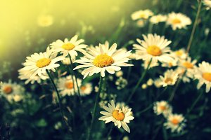 Blooming chamomile field, Chamomile flowers on a meadow in summer, Selective focus