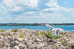 Seagull on the beach in Istria