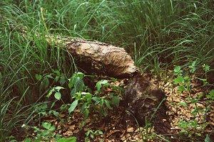 Beaver gnawed tree