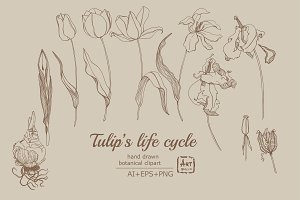 Tulip's Lifecycle Botanical art